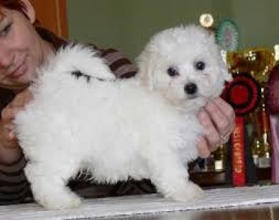 Sweet White Teacup Maltese puppies