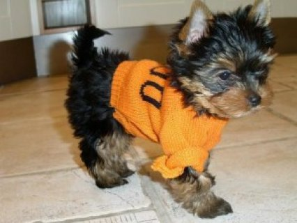 Registered Teacup Yorkie