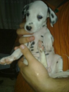 Dalmation Puppies For sell Age 47 days Pure 100%