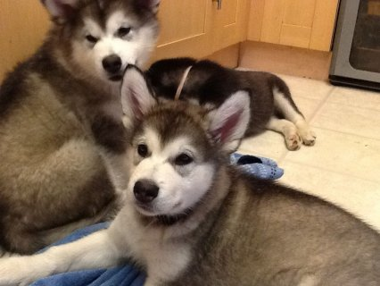 Cute Siberian Husky Puppies is Available