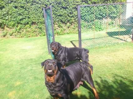 Three Rottweiler for sale