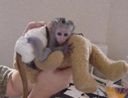 صور wonderful exoltic capuchin baby for adoption 2
