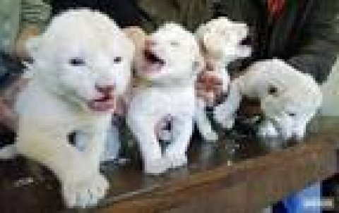 Lion,cheetah and tiger cubs for sale Hear