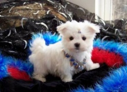 Healthy Teacup Maltese for Adoption
