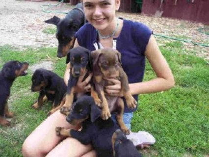 Beautiful Doberman Pinscher Pups