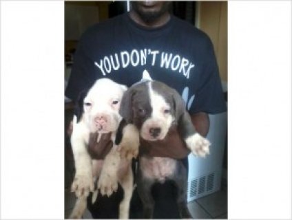 American Pit Bull Terriers Puppies