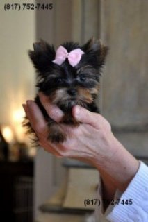 TINY TOY-SIZE YORKIE PUPPY FOR SALE