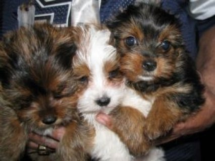 Super Adorable Yorkie Puppies Available Now