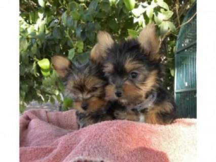 Outstanding Male and female Teacup Yorkie Puppies now Available