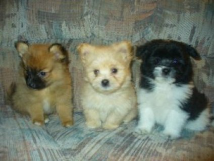 Pure Breed Pomeranian Puppies
