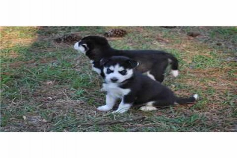 صور Registered Siberian Husky puppies For Aoption 1