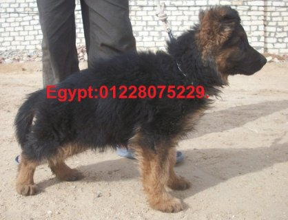 صور German shepherd  puppy for sale.Champion bloodline. 1