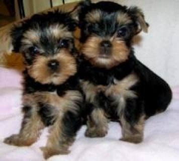 Yorkie Puppies For Rehoming Now