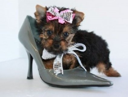 2 Yorkshire Terriers For Sale