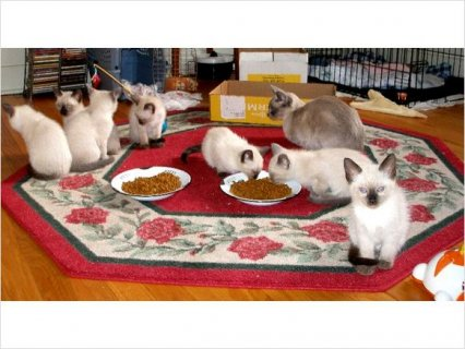 Siamese Kittens For Rehoming