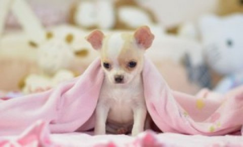 Gorgeous Chihuahua Puppy Available