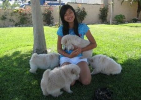 Chow Chow Pup for Rehoming