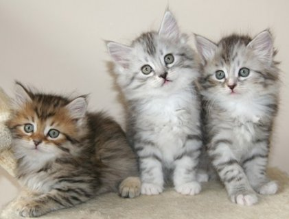 Male and Female Siberian Kittens Available Now