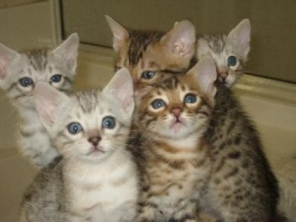 BENGAL Kittens Available Now