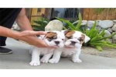 Amazing English Bulldog Puppy Available