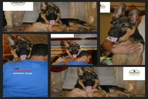 top puppies gsd for sale