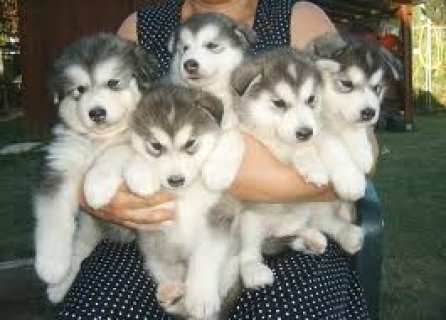 Cute Alaskan Malamute Puppies Available