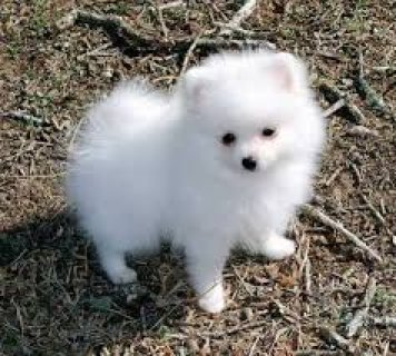 صور Adorable pomeranian puppies for adoption 1