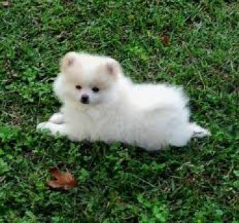 صور Adorable pomeranian puppies for adoption 2