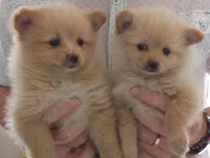 صور $Adorable pomeranian puppies for adoption 3