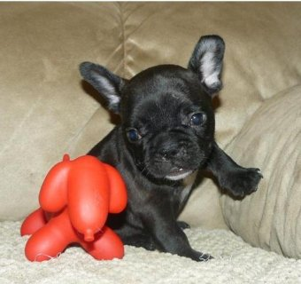 French Bulldog Puppy Tiny Tim