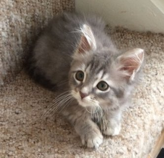 2  Baby Allergy Siberian Kittens For Rehoming