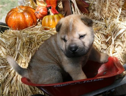 Chinese Shar-Pei Puppies available now.