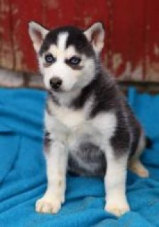 Nice and Healthy Siberian Husky Puppies