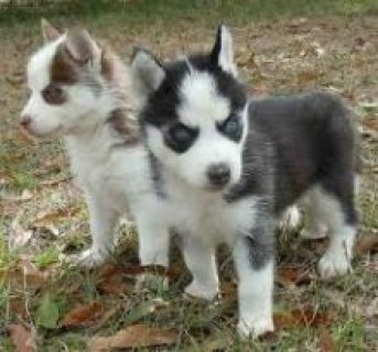 12 AKC Registered Siberian Husky pups