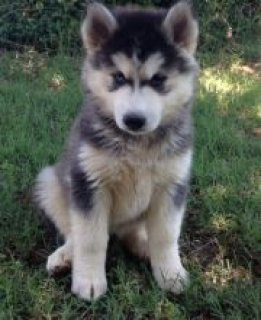 Outstanding Blue Eyes Siberian husky puppies