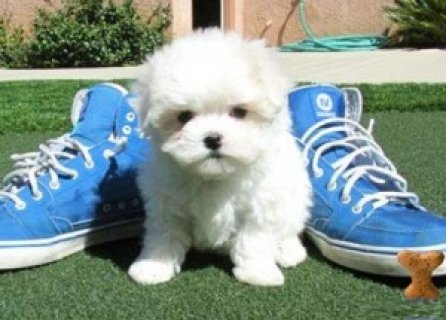Outstanding Maltese Pup Available
