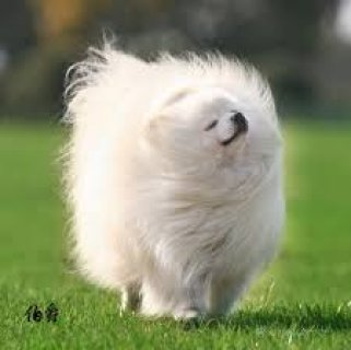 Adorable pomeranian available