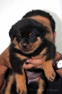 35 days old rott puppies