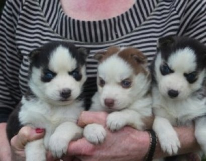 Two Adorable CKC Female Siberian Husky Puppies