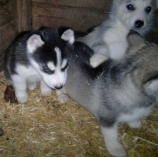 Wow Beautiful Siberian Husky Puppies for Sale