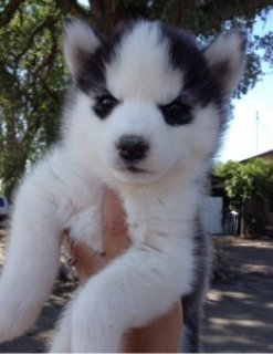 !Chow See Adorable Siberian Husky Puppies for Adoption.!