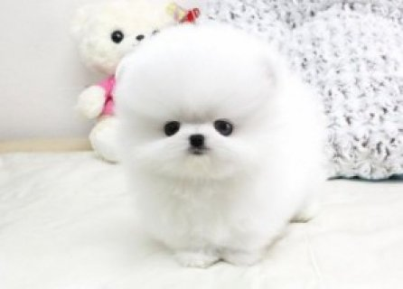 Pomeranian Dog for Adoption