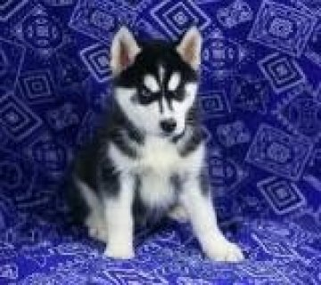 Trained Siberian Husky Pups for Adoption
