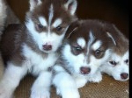Outstanding Siberian Husky Puppies