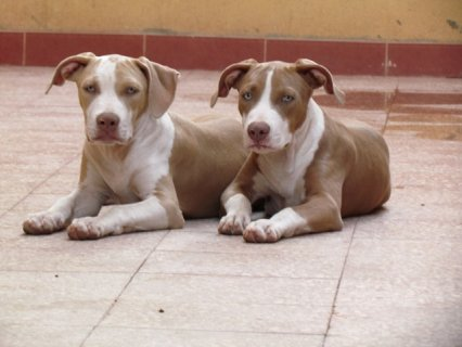 pitbull puppies for sale 6 months old..male and female