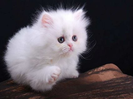 BEAUTIFUL SOLID WHITE BLUE EYED PERSIAN FEMALE KITTEN