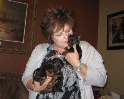 AKC Yorkie Puppy - 12 weeks old Male For Adoption