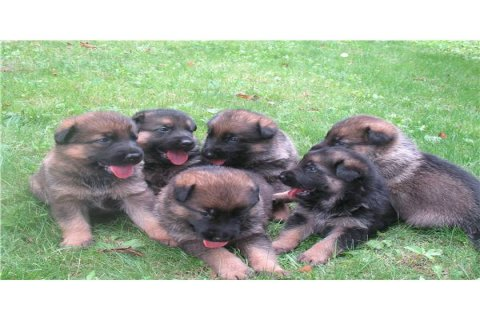 Cute and healthy German Shepherd puppies for new homes