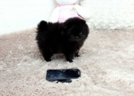 ...Pomeranian Puppies Available
