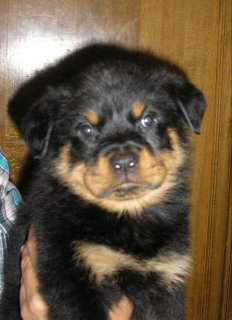 Champion Rottweiler Female Puppy